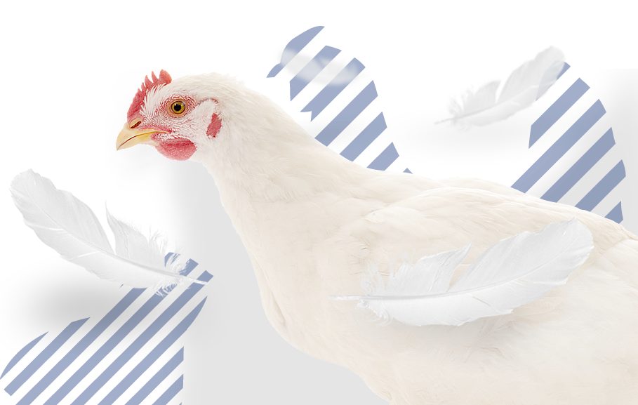 <p>Produ&ccedil;&atilde;o, abate, desmancha e comercializa&ccedil;&atilde;o de carne de aves</p>